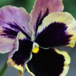viooltje