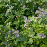 bernagie+phacelia (blauwe en paarse bloemen)