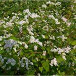 boekweit (witte bloemen)