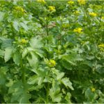 mosterdzaad (gele bloemen)