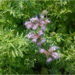 phacelia (lichtpaarse bloemen)